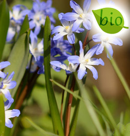 Schneeglanz  Chionodoxa forbesii 'Blue Giant', BIO
