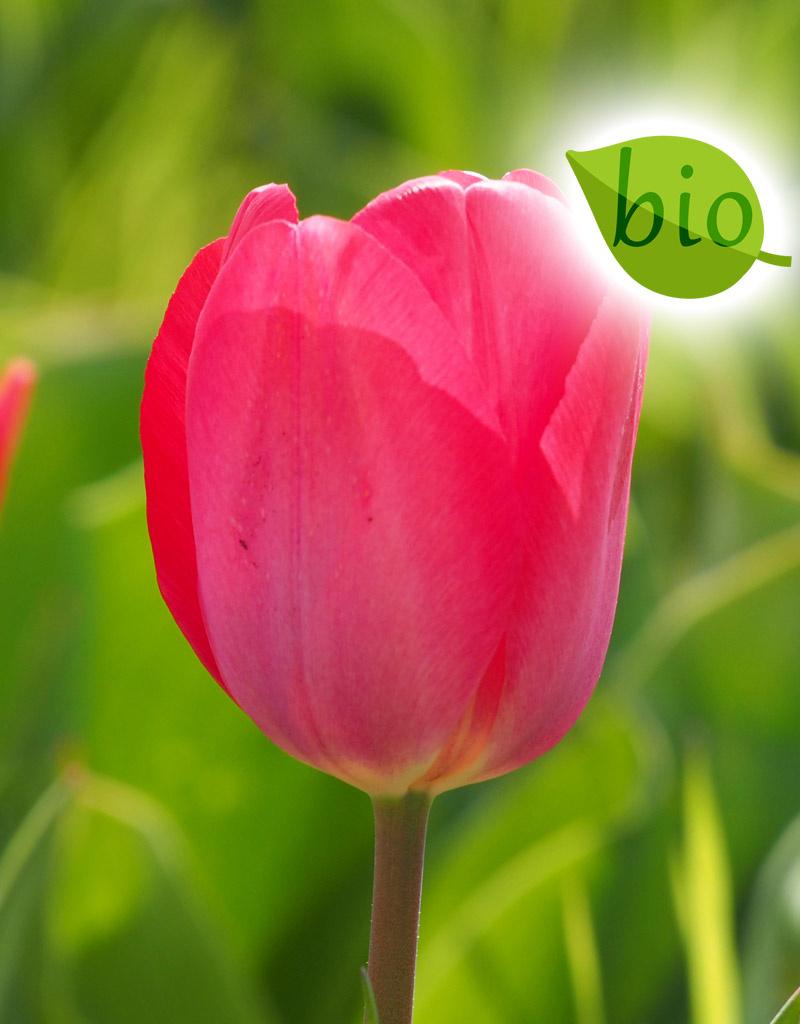 Tulpe  Tulipa ′Van Eijk′, BIO