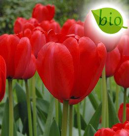 Tulpe  Tulipa ′Red Impression′, BIO