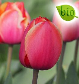 Tulpe  Tulipa ′Ad Rem′, BIO