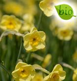Narzisse  Narcissus 'Sun Disc', BIO