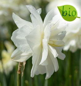 Narzisse  Narcissus 'Calgary', BIO
