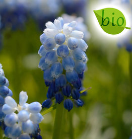Traubenhyazinthe  Muscari 'Lady Blue', BIO