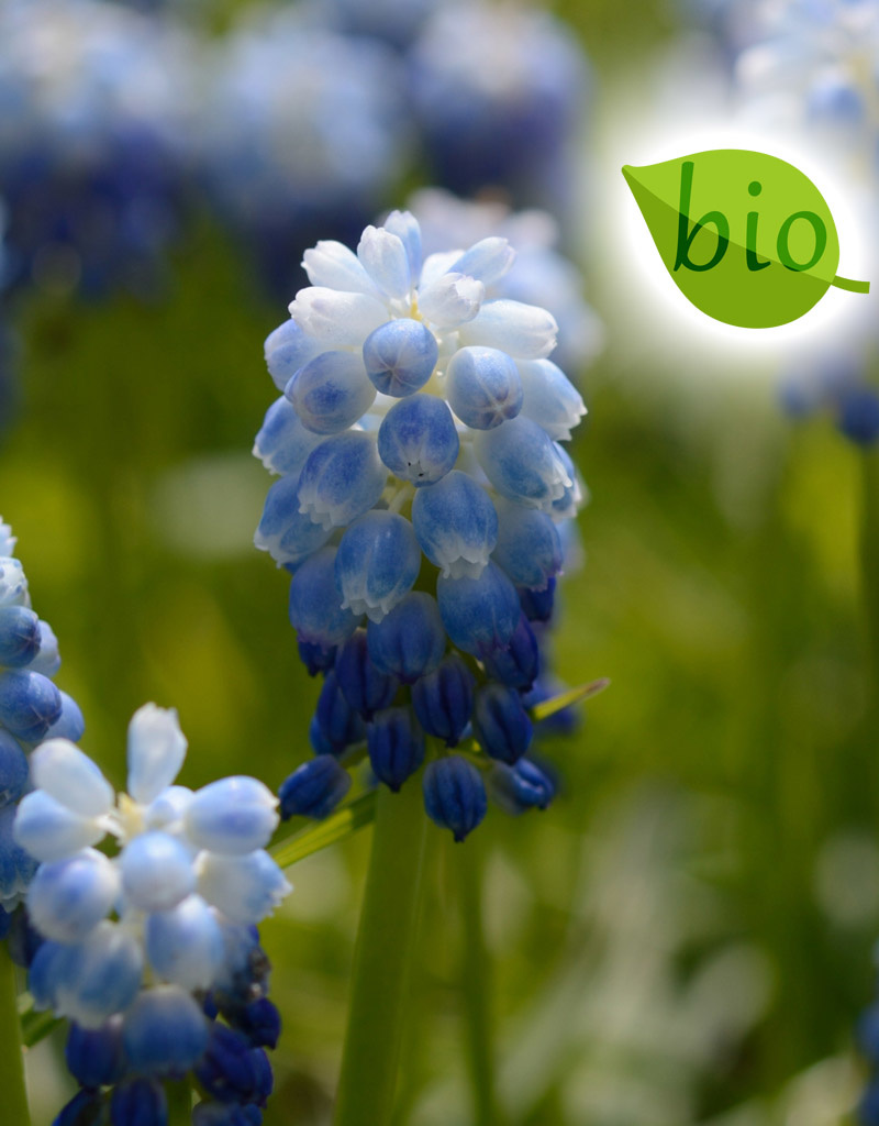 Traubenhyazinthe  Muscari 'Lady Blue' (Traubenhyazinthe), BIO