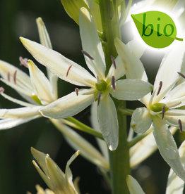 Prärielilie  Camassia leichtlinii 'Sacajawea', BIO