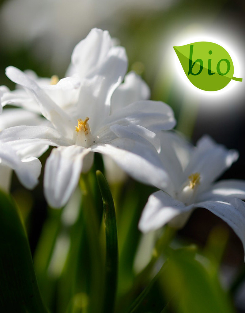Schneeglanz (Gewöhnlicher)  Chionodoxa luciliae 'Alba' (Gewöhnlicher Schneeglanz) - Stinsenpflanze, BIO