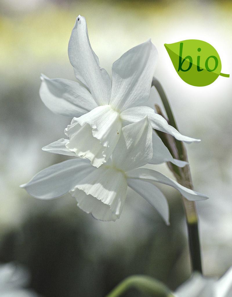 Narzisse  Narcissus 'Thalia', BIO