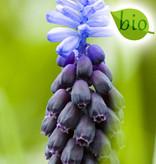 Traubenhyazinthe (Breitblättrige)  Muscari latifolium (Breitblättrige Traubenhyazinthe) - Stinsenpflanze, BIO