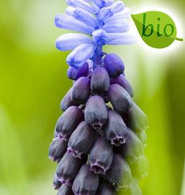 Traubenhyazinthe (Breitblättrige)  Muscari latifolium, BIO
