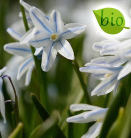 Kegelblume  Puschkinia scilloides var. libanotica, BIO