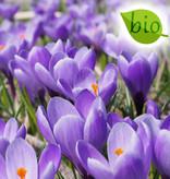 Krokus (Frühlings)  Crocus vernus 'Grand Maître' (Frühlings-Krokus), BIO