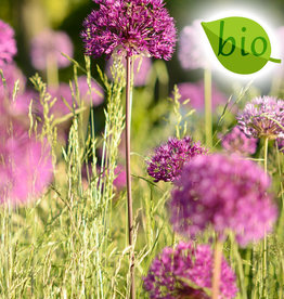 Zierlauch  Allium 'Purple Sensation', BIO