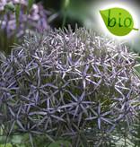 Zierlauch  Allium christophii, BIO (Sternkugel-Lauch)