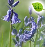Hasenglöckchen (Atlantisches)  Hyacinthoides non-scripta, blau, BIO (Atlantisches Hasenglöckchen) - Stinsenpflanze