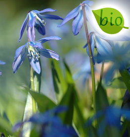 Blaustern (Sibirischer)  Scilla siberica, BIO