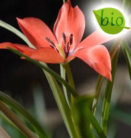Tulpe (Wild)  Tulipa linifolia, BIO, Bulk