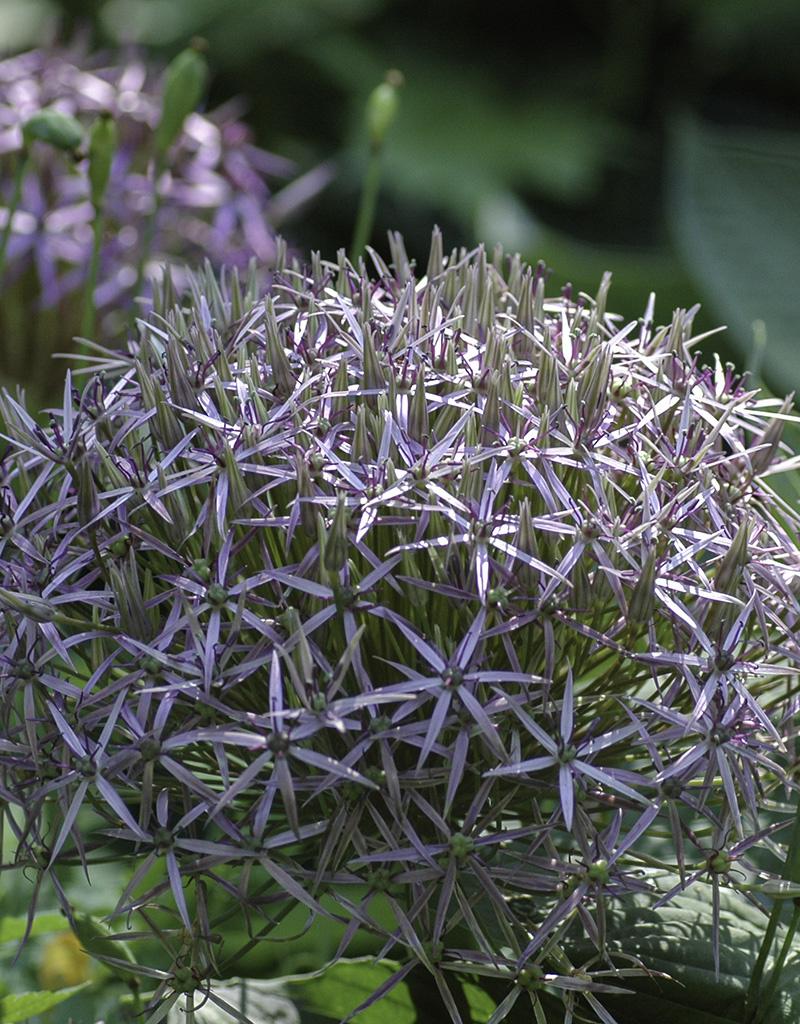 Zierlauch  Allium christophii (Sternkugel-Lauch)
