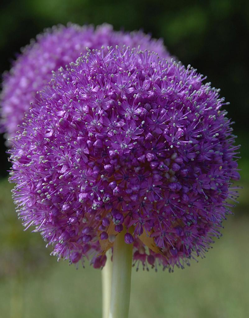 Zierlauch  Allium giganteum (Riesen-Lauch)