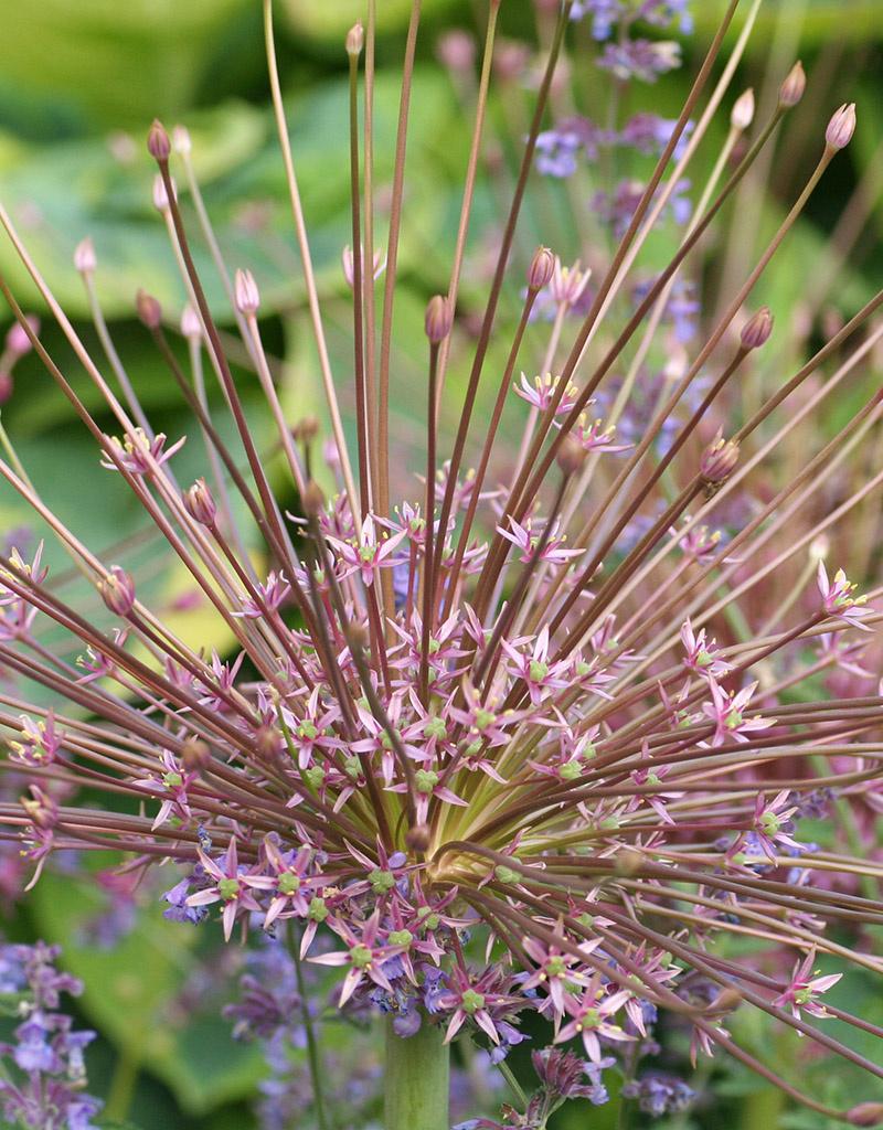 Zierlauch  Allium schubertii (Igelkolbenlauch)