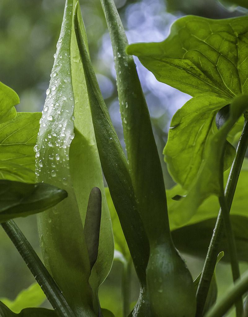 Aronstab  Arum maculatum (Gefleckter Aronsstab)