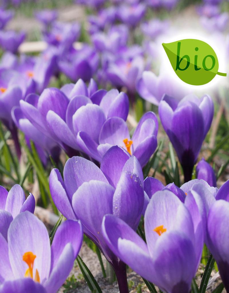 Krokus (Frühlings)  Mischung von Krokussen – BIO - 100 Stück für 4 m²