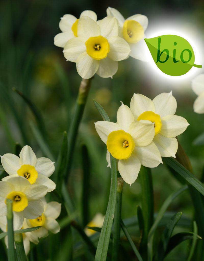 Narzisse  Mischung: reinweiss & sanft-gelb - BIO