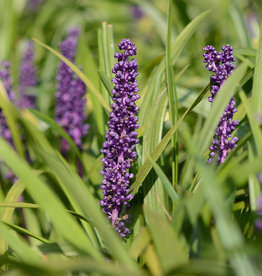 Lilientraube Liriope muscari 'Royal Purple'