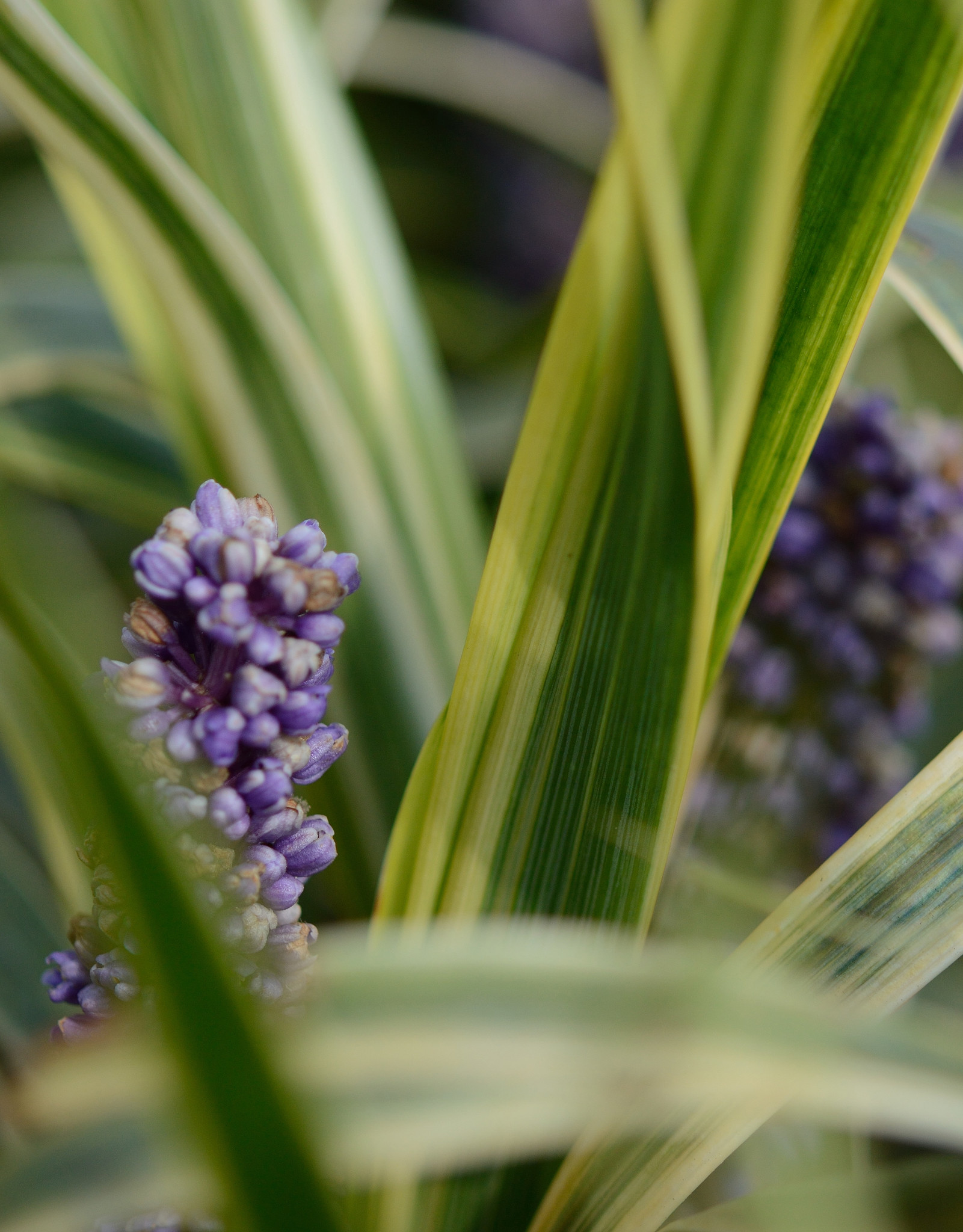 Lilientraube Liriope muscari 'Gold Banded' (Lilientraube)