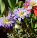 Anemone (Strahlen)  Anemone blanda 'Blue Splendour' (Strahlenanemone)