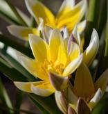 Tulpe (Wild) Tulipa tarda, BIO