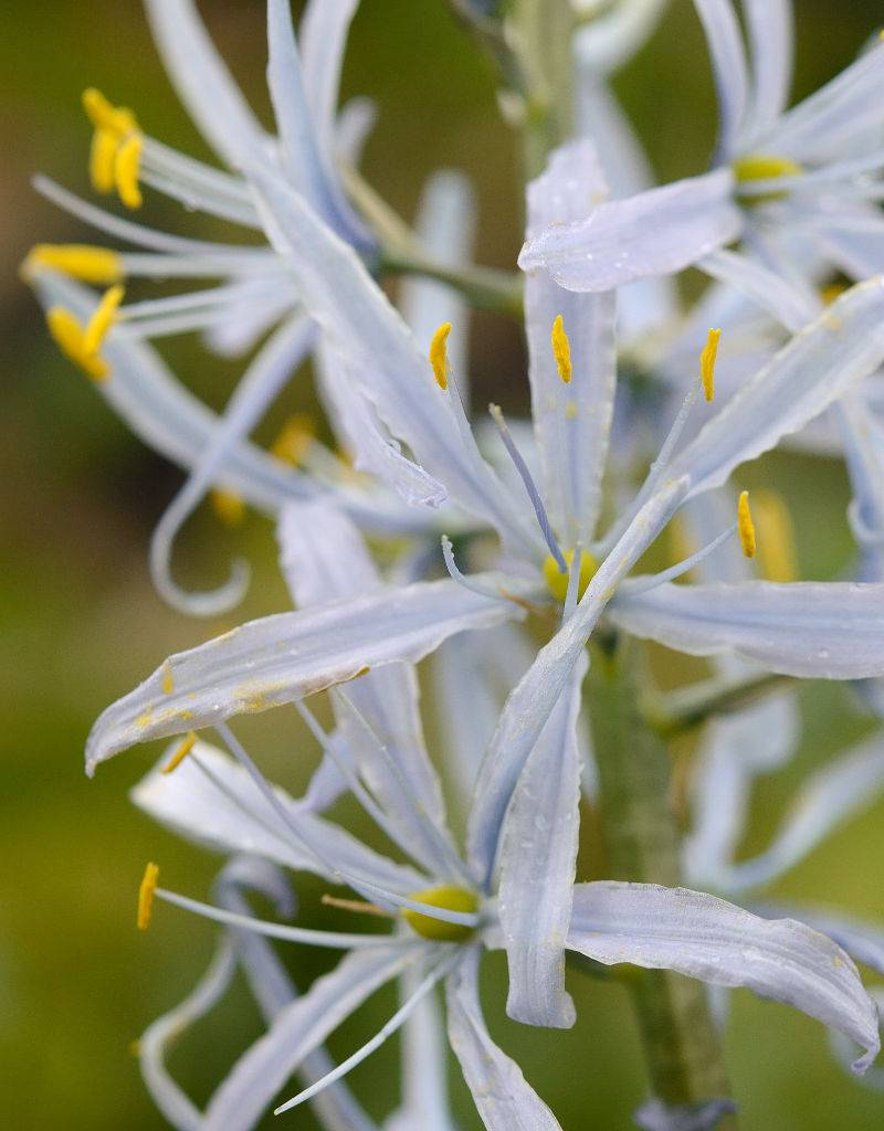 Prärielilie Camassia cusickii (Prärielilie)
