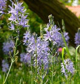 Prärielilie  Camassia leichtlinii 'Caerulea'