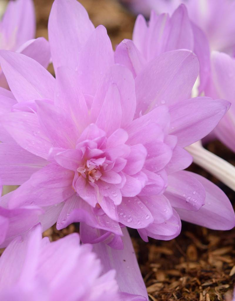Herbstzeitlose  Colchicum 'Waterlily' (Herbst-Zeitlose)