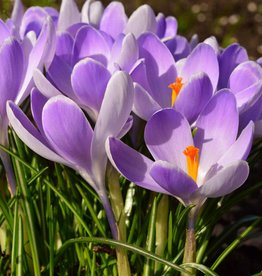 Krokus (Frühlings) Crocus vernus 'Vanguard'