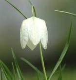 Schachbrettblume Fritillaria meleagris 'Alba' (Gewöhnliche Schachbrettblume) - Stinsenpflanze