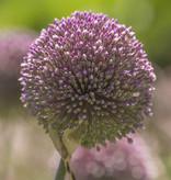 Zierlauch  Allium 'Summer Drummer' (Zierlauch)