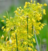 Lauch  Allium flavum (Gelb-Lauch)