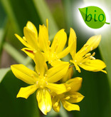 Lauch  Allium moly, BIO (Gold-Lauch)