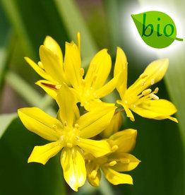 Lauch  Allium moly, BIO