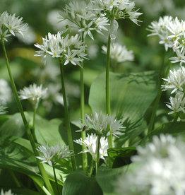 Lauch (Bärlauch)  Allium ursinum