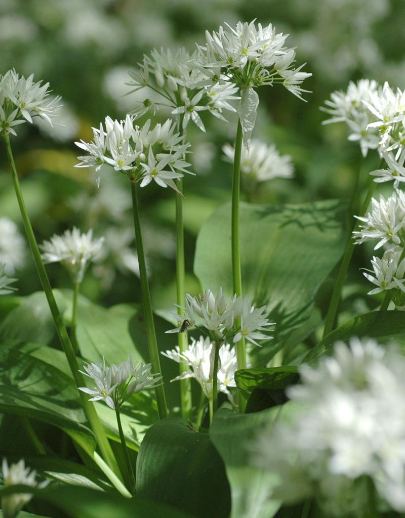 Lauch (Bärlauch)  Allium ursinum (Bärlauch) - Stinsenpflanze