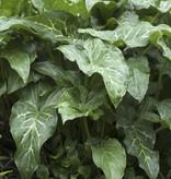 Aronstab  Arum italicum (Italienischer Aronstab) - Stinsenpflanze
