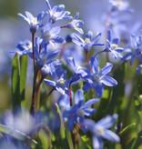 Schneeglanz  Chionodoxa sardensis (Dunkler Schneeglanz) - Stinsenpflanze - 200 Stück für 8m2