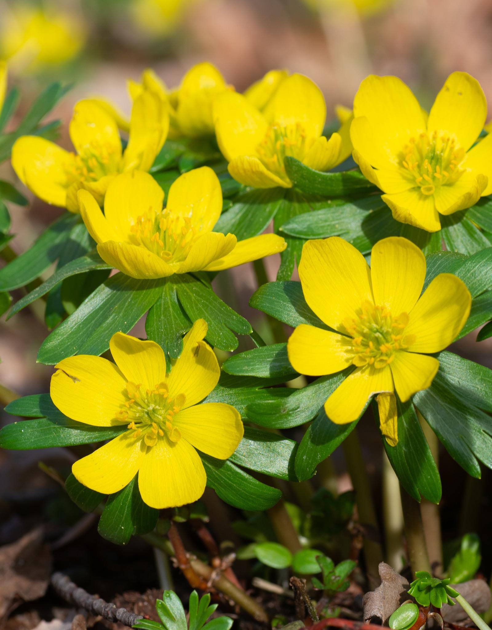 Winterling  Eranthis hyemalis (Winterling) - Stinsenpflanze
