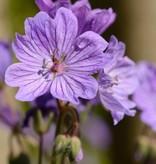 Knolliger Storchschnabel Geranium tuberosum (Knolliger Storchschnabel)