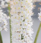 Steppenkerzen  Eremurus himalaicus (Steppenkerzen)