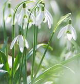 Schneeglöckchen  Galanthus nivalis (Schneeglöckchen) - Stinsenpflanze
