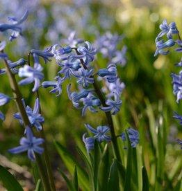 Hyazinthe (Römisch) Hyacinthus orientalis, blau