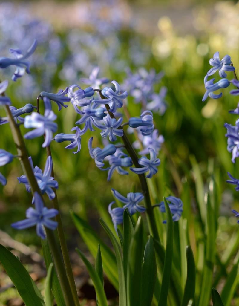 Hyazinthe (Römisch)  Hyacinthus orientalis, blau (Römische Hyazinthe)