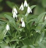 Schneeglöckchen (Woronow)  Galanthus woronowii (Woronow Schneeglöckchen) kleine Zwiebelgrösse – Stinsenpflanze